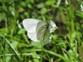 Arctic White Butterfly GGt