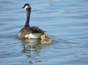 Canada Goose Goslings Lake Neatahwanta