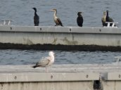 cormornants gull Lake Ontario