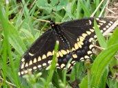 eastern black swallowtail butterfly Recreation Park