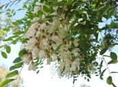 flowering tree Lake N