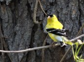 goldfinch RHL 2