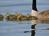 goslings North Bay2