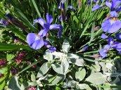 iris flowers yard
