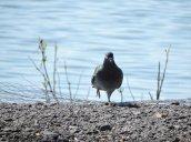 pigeon Bullhead Point