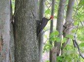 Pileated Woodpecker Lake Neatahwanta