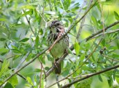 song sparrow and dinner GGT
