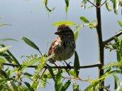 Song Sparrow Lake N