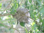 yellow warbler nest North Bay