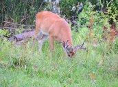 buck white-tailed deer next door