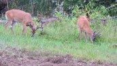 buck3 white-tailed deer next door