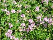 crown vetch wildflowers Oswego River