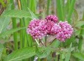 milkweed glimmerglass lagoon