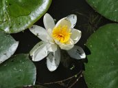 waterlily North Bay