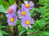 aster flowers Granby