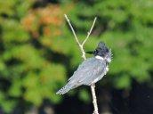 Belted Kingfisher Glimmerglass Lagoon