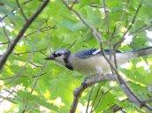 blue jay Granby Getaway Trail