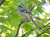blue jay Granby Getaway Trail2