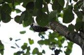 downy woodpecker Granby