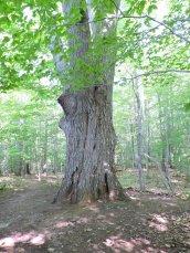 Giant Red Oak Tree