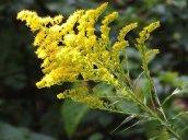 goldenrod flower Granby
