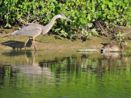 Great Blue Heron American Black Duck Oswego River Fulton
