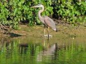 Great Blue Heron Oswego River Fulton