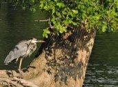 Great Blue Heron shadows Oswego River Fulton2