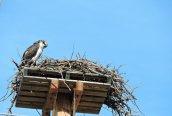 osprey near jail Oswego