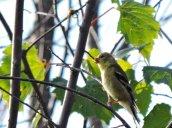 goldfinch Oswego River Fulton