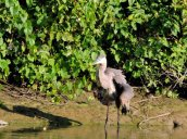 ruffled Great Blue Heron Oswego River Fulton
