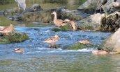 slip sliding American Black Ducks Oswego River Fulton