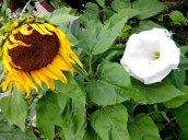 sunflower moonflower