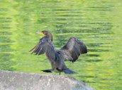 walking cormorant Oswego River Oswego