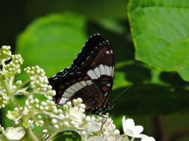 white admiral butterfly yard