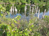 wildflowers wooden pillings Oswego River Fulton