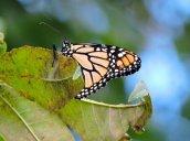 monarch butterfly Granby