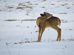deer scratching field