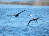 flying geese Oswego River Fulton