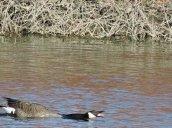 stretching goose Oswego River Fulton