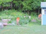 doe buck deer yard