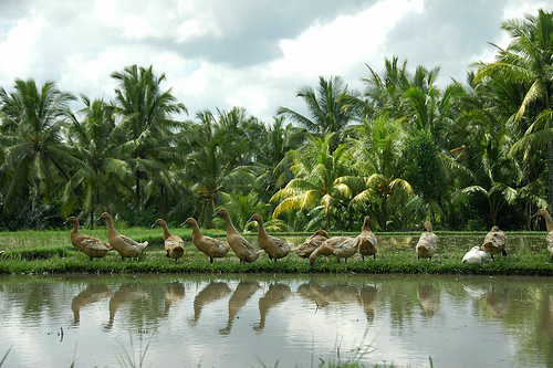ducks in the rice paddies of Indonesia