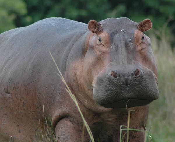Nile Hippo