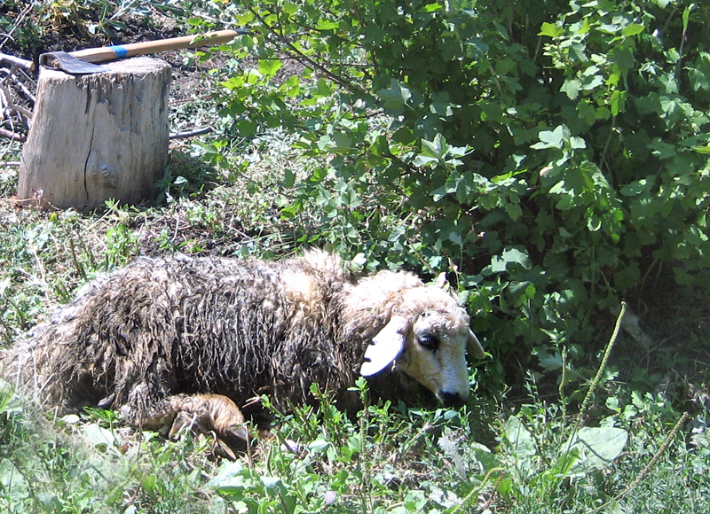 Armenian sheep waiting for barbecue