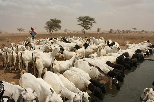 Oxfam Goats Kenya