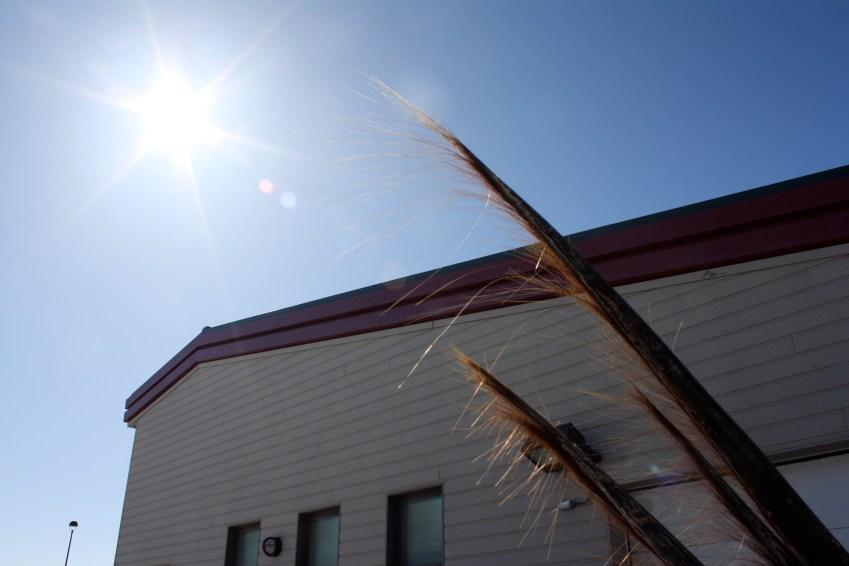 Whale baleen in the sun.
