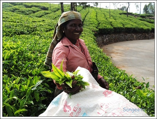 Coonoor Tea Gardens-AnthonyAmma2