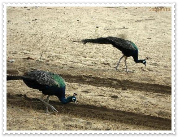 Dhanushkodi Peacock