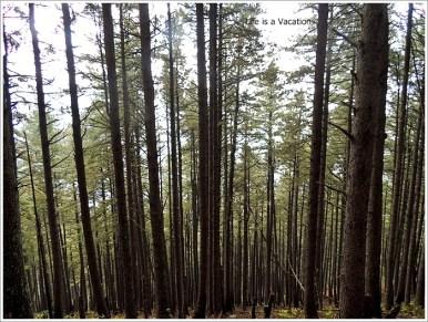 Naranag Descent Misty Trees