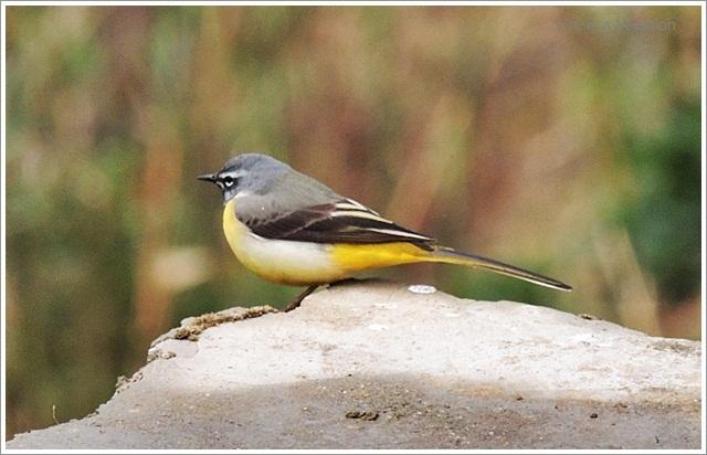 Sandakphu_Hill_Bird